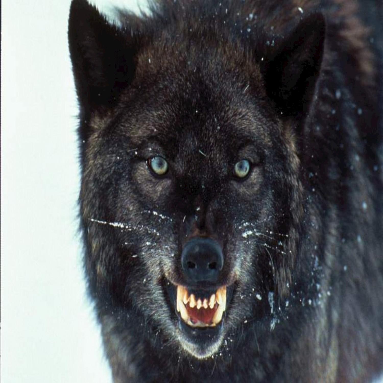 红太狼平底锅图片